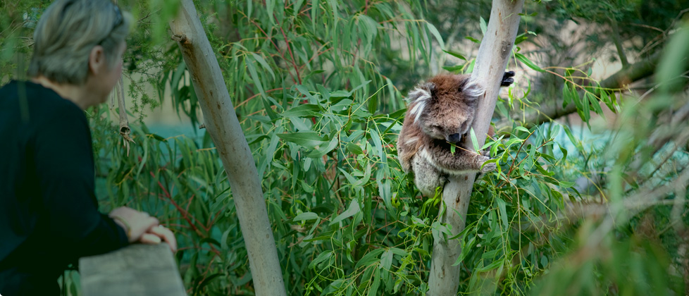 attractions koalas